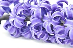 Close on flower of hyacinthe Stock Images