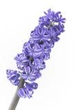 Close on flower of hyacinthe Royalty Free Stock Image