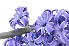 Close on flower of hyacinthe Royalty Free Stock Photography