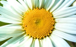 Close up of chamomile flower in the Sun Light. Close   flower sun light chamomile stock images