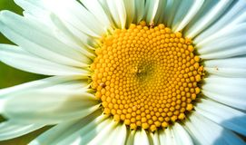 Close up of chamomile flower in the Sun Light. Close   flower sun light royalty free stock images