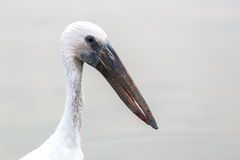 Close focus on head and neck of long beak bird. Close focus on head and neck of white bird having a long beak called Asian Openbill or Open billed stork Stock Photography