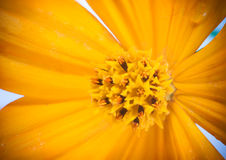 Close focus of pollen of cosmos flower Stock Image