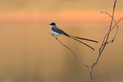 Close Fork-tailed flycatcher Royalty Free Stock Images