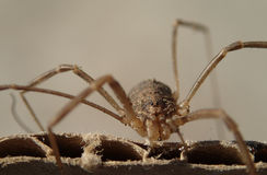 Close frame of a daddy long legs Stock Photography