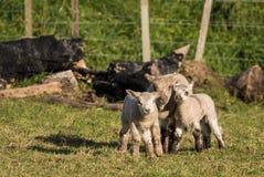 Close Friends Lambs Royalty Free Stock Image