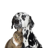 Close friendship between a cat and a dog. Isolated on white Stock Photography