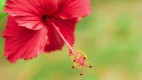 Close front view of a single red hibiscus flower slightly swinging on the wind.  stock footage