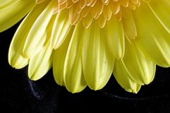 Close gerber daisy on velvet. Sunburst like Single yellow blossom of close-up Gerber Daisy with petals and center disk on black velvet background showing layers stock photos