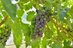 Grapes growing in the bunch. Close on grapes growing in the bunch in a vineyard royalty free stock photos