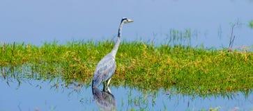Free Close Gray Heron Stock Image - 114524941