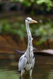 Close gray heron Stock Image