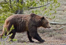 Close. Grizzly bear next to the road in Grand Teton National Park Stock Photography