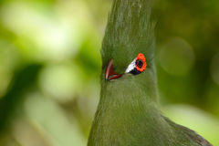 Close head shot of a Guinea turaco, scientific name Tauraco persa Royalty Free Stock Photos
