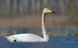 Close image of adult Whooper swan floating in vibrant water of spring lake royalty free stock image