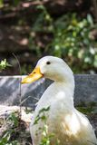 Close picture of a freely roaming American Pekin duck near Lake Kleptuza in Velingrad. Close image of a cute American Pekin duck freely roaming in the dappled stock images