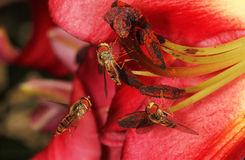 Close image of group of hoverflies. Stock Photography