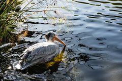 Single pelican on the water royalty free stock photos