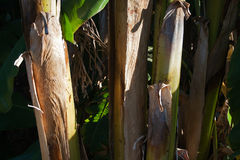 CLOSE IMAGE OF PLANTAIN STEMS Royalty Free Stock Image