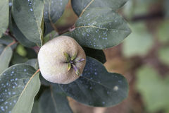Close of immature quince Stock Images