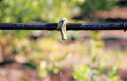 Close on Irrigation Drip for Crops Royalty Free Stock Images
