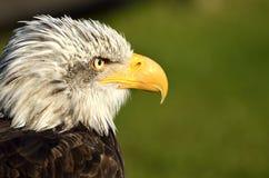 close irritado acima da face da avestruz Imagens de Stock