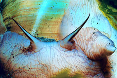 Close of a Lewis Moon Snail Royalty Free Stock Image