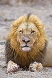 Close in Lion. A wily old lion stares at the camera Stock Photo