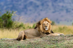 Close lion in National park of Kenya Royalty Free Stock Photos
