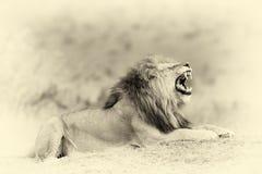 Close lion in National park of Kenya. Vintage effect Stock Image