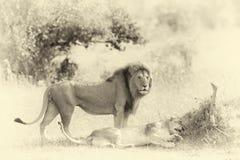 Close lion in National park of Kenya. Vintage effect Stock Images