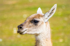 Close Llama looking the spectator.  Stock Photography