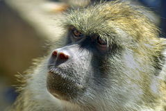 Portrait of baboon. At the zoo in Brasov, Romania Stock Images