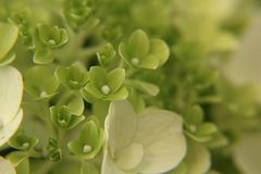 Blooming Light Green and Hydrangea in June stock photo