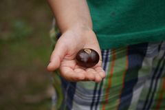 Buckeye in Child`s Hand - Close Up royalty free stock photography