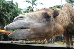 A close look of a camel chewing carrot in Taman Safari, Bogor, Indonesia Royalty Free Stock Photo