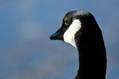 Close Look at Canada Goose Looking Out Over the Lake Royalty Free Stock Photos