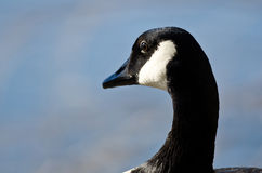 Close Look at Canada Goose Looking Out Over the Lake Royalty Free Stock Photography