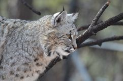 Profile of a Lynx Royalty Free Stock Image