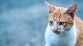 Close look of a cat with grey blurred background. Two tone cat with grey blurred background Stock Image