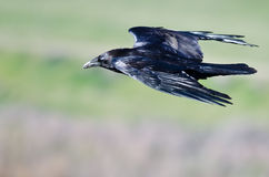 Close Look at Common Raven Flying Through the Sky Royalty Free Stock Photography