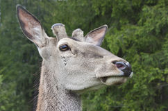 Close look of a deer Royalty Free Stock Images