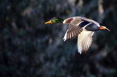 Close Look at a Mallard Duck in Flight Stock Images