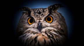 A close look of the orange eyes of a horned owl on a dark background Stock Photography
