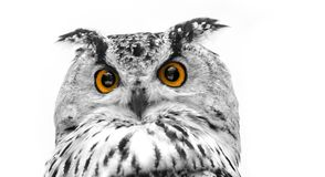 A close look of the orange eyes of a horned owl on a white background royalty free stock photo