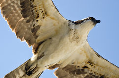Close Look at an Osprey Flying in a Blue Sky Stock Photography