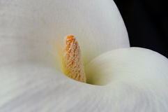 A close look to a calla ! Stock Photography