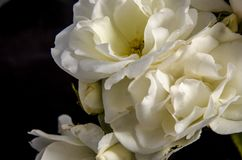 A close look at the white rose. A rose is a woody perennial flowering plant of the genus Rosa, in the family Rosaceae, or the flower it bears. There are over a royalty free stock photo