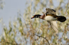 Close Look at Wood Duck in Flight. Close Look at Male Wood Duck in Flight Stock Images