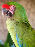 Close Macaw Royalty Free Stock Photo